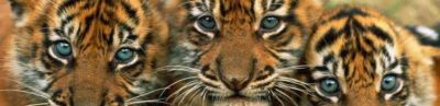 Tiger Strip