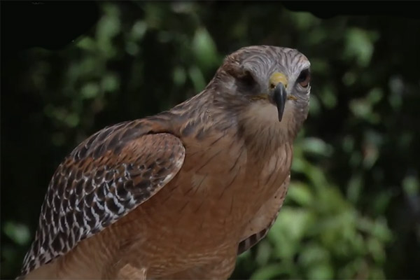 Life Sciences at a Social Distance - red tail hawk